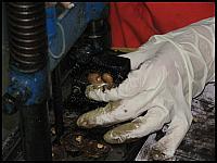 images/stories/20080503_Tajlandia_Sobota/640_Fot124_IMG_9638_OrzeszekNerkowaca.JPG