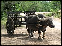 images/stories/20080503_Tajlandia_Sobota/640_Fot153_IMG_9695_Bawol.JPG