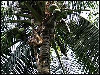images/stories/20080503_Tajlandia_Sobota/640_Fot155_IMG_3186_MalpaNaPalmie_1.JPG