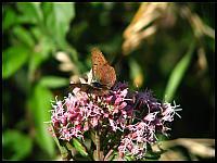 images/stories/20090819_Motyle/640_img_8256_CzerwonczykUroczek_LycaenaTityrus.jpg