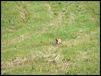 images/stories/200908_UrlopLetni/przyroda/640_img_1368_Lis.jpg