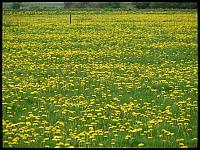 images/stories/20120429_HolandiaOkoliceZutphen/640_IMG_5352_MniszekLekarski_v1.JPG
