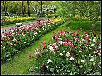 images/stories/20120502_HolandiaKeukenhoff/640_20120502_144332_Tulipany_v1.jpg