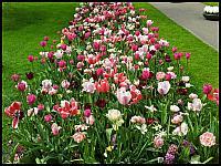 images/stories/20120502_HolandiaKeukenhoff/640_20120502_144400_Tulipany_v1.jpg