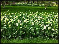 images/stories/20120502_HolandiaKeukenhoff/640_20120502_144549_Tulipany_v1.jpg