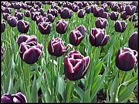 images/stories/20120502_HolandiaKeukenhoff/640_20120502_153256_Tulipany_v1.jpg