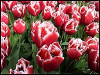 images/stories/20120502_HolandiaKeukenhoff/640_20120502_160403_Tulipany_v1.jpg