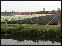 images/stories/20120502_HolandiaKeukenhoff/640_IMG_6058_PolaTulipanowe_v1.JPG