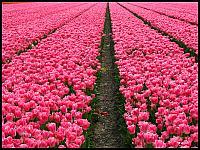 images/stories/20120502_HolandiaKeukenhoff/640_IMG_6103_PoleTulipanowe_v1.JPG