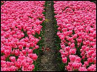 images/stories/20120502_HolandiaKeukenhoff/640_IMG_6104_PoleTulipanowe_v1.JPG