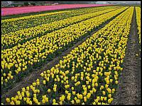 images/stories/20120502_HolandiaKeukenhoff/640_IMG_6131_PolaTulipanowe_v1.JPG