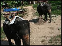images/stories/20080503_Tajlandia_Sobota/640_Fot118_img_2731_Slonie_1.jpg