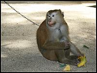 images/stories/20080503_Tajlandia_Sobota/640_Fot156_IMG_3204_Malpa_1.JPG