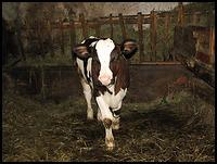 images/stories/200908_UrlopLetni/przyroda/640_img_0944_cielaczek.jpg